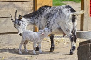 A goat with a baby 300x200 - www.domesticforest.com