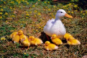 A mother duck with ducklings 300x200 - www.domesticforest.com