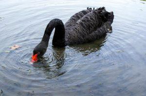 A swan 300x199 - www.domesticforest.com