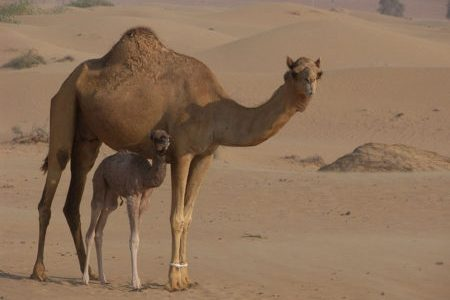 A mother Camel with her calf