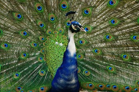 The Indian Blue Pied Peacock