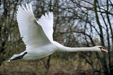 A flying Mute Swan